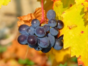 UF_grapes_082914