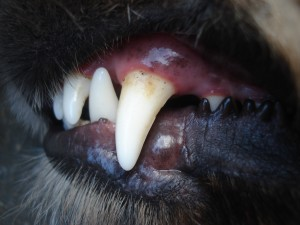 UF_dogs_baring_tooth_081315